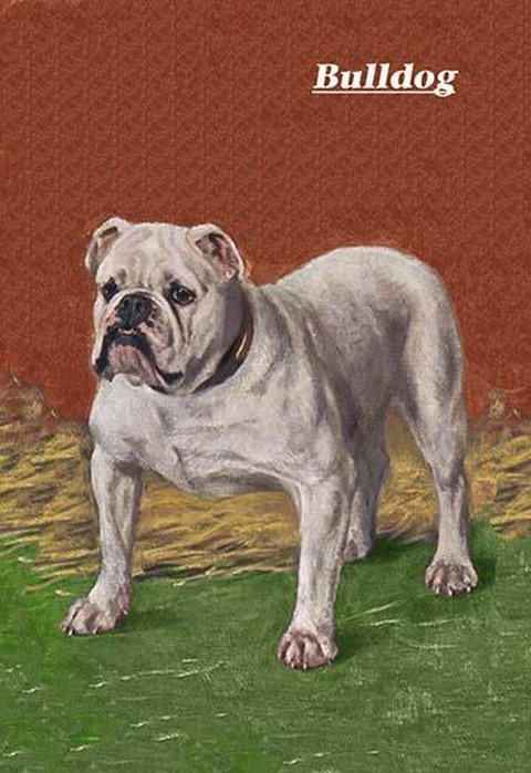 White Bulldog - Art Print