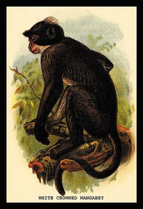 White Crowned Mangabey by G.R. Waterhouse - Art Print