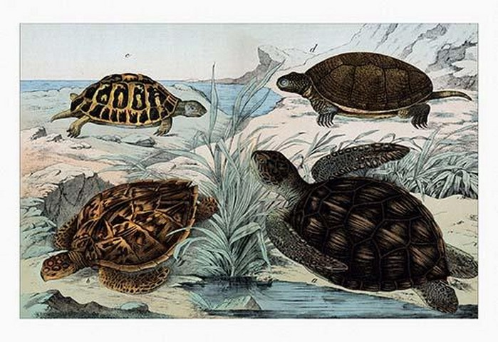Turtles and Tortoises by Heinrich V. Schubert - Art Print