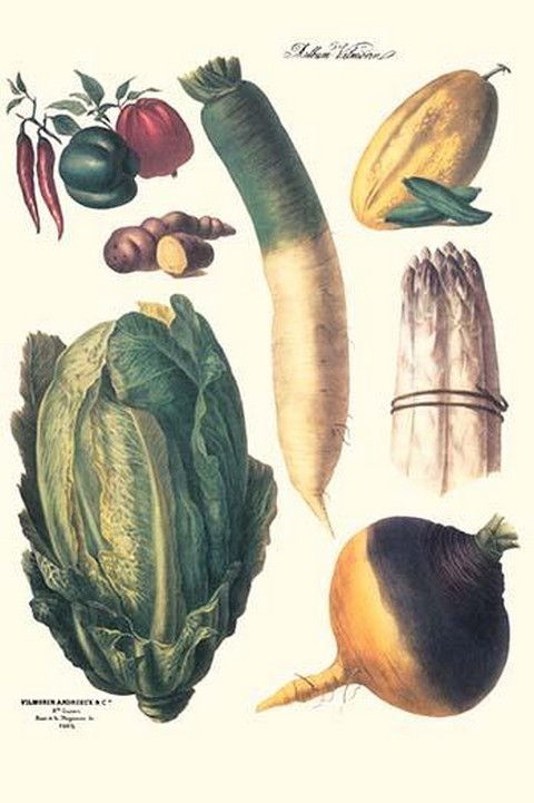 Vegetables; White asparagus, spago, peppers, cabbage, turnip by Philippe-Victoire Lev que de Vilmorin - Art Print