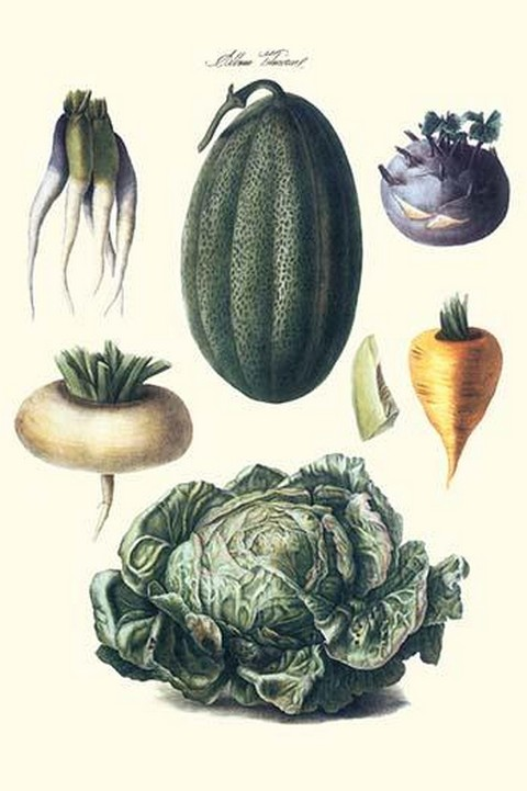 Vegetables; melon, turnip, lettuce, cabbage, by Philippe-Victoire Lev que de Vilmorin - Art Print