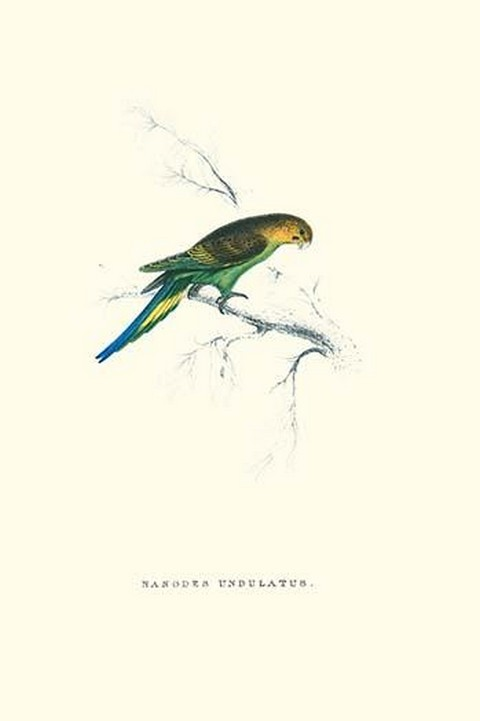 Undulated Parakeet - Nelopsittacus Undulatus by Edward Lear - Art Print