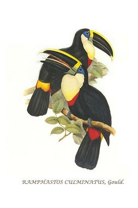 Yellow Ridged Toucan by John Gould #2 - Art Print