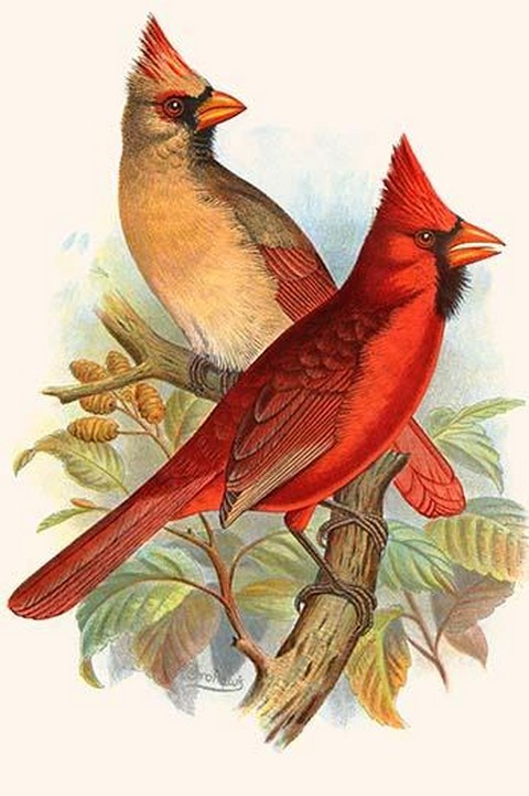 Virginian Cardinal by Frederick William Frohawk - Art Print