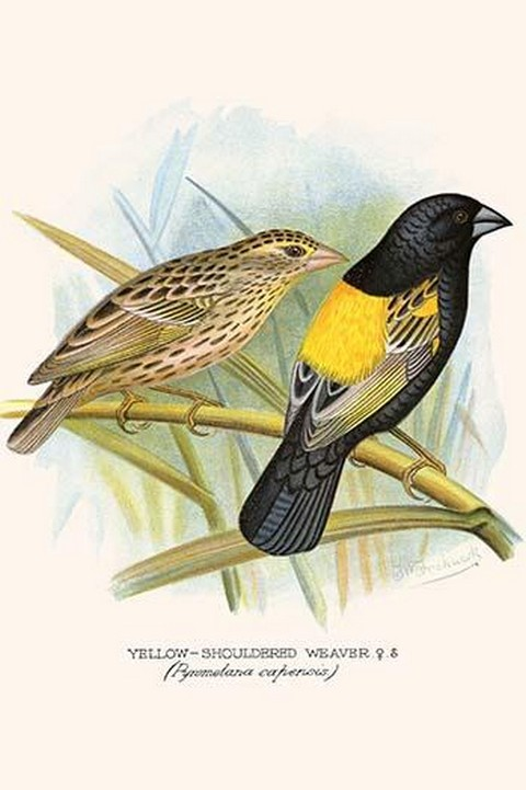 Yellow Shouldered Weaver by Frederick William Frohawk #2 - Art Print