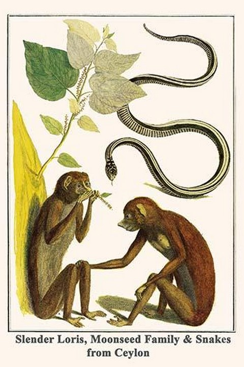Slender Loris, Moonseed Family & Snakes from Ceylon by Albertus Seba - Art Print