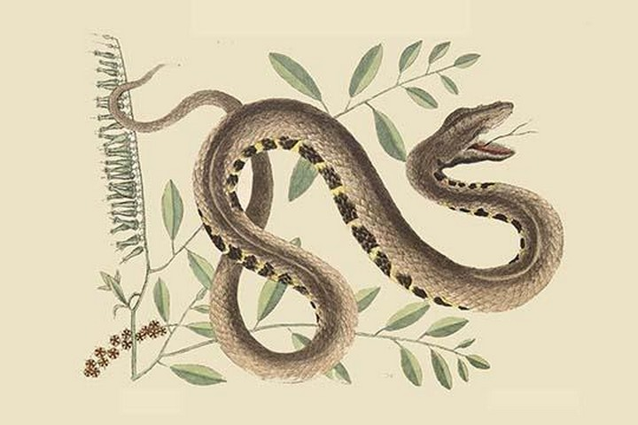 Water Viper -Viper Mouth by Mark Catesby - Art Print