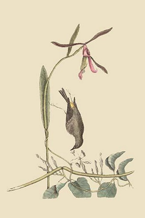 Yellow Rump by Mark Catesby - Art Print