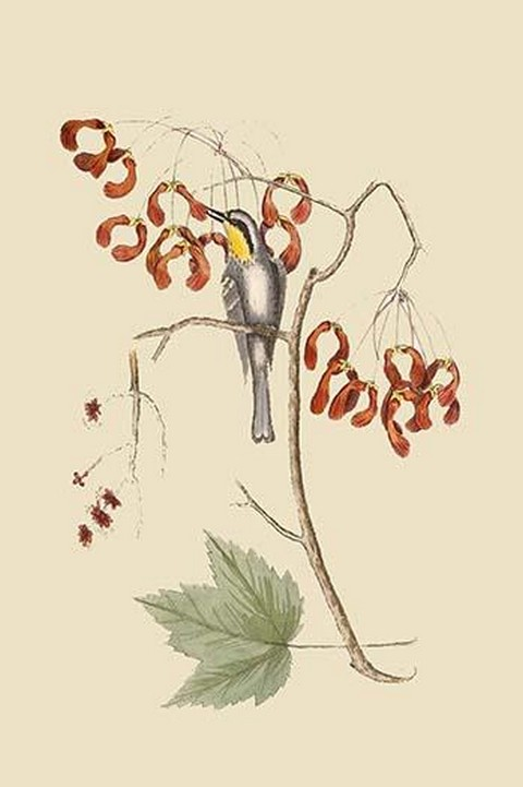 Yellow Throated Creeper by Mark Catesby - Art Print