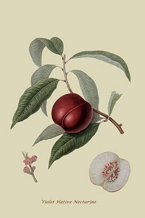 Violet Hative Nectarine by William Hooker #2 - Art Print