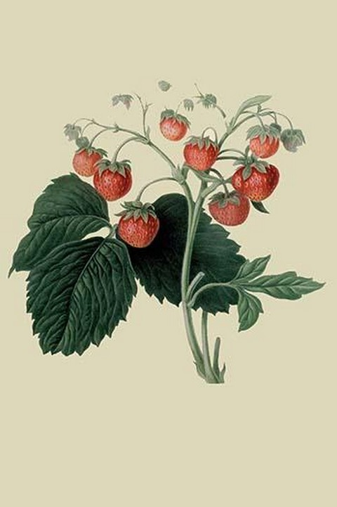 Wilmot's Late Scarlet Strawberry by William Hooker - Art Print