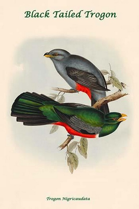 Trogon Nigricaudata - Black Tailed Trogon by John Gould - Art Print