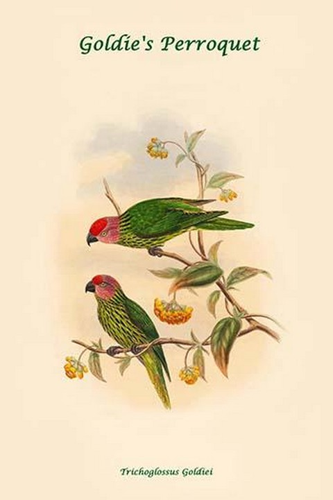 Trichoglossus Goldiei - Goldie's Perroquet by John Gould - Art Print