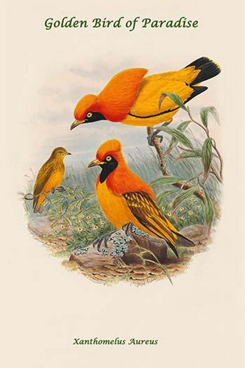 Xanthomelus Aureus - Golden Bird of Paradise by John Gould - Art Print