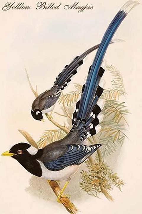 Yellow Billed Magpie by John Gould - Art Print