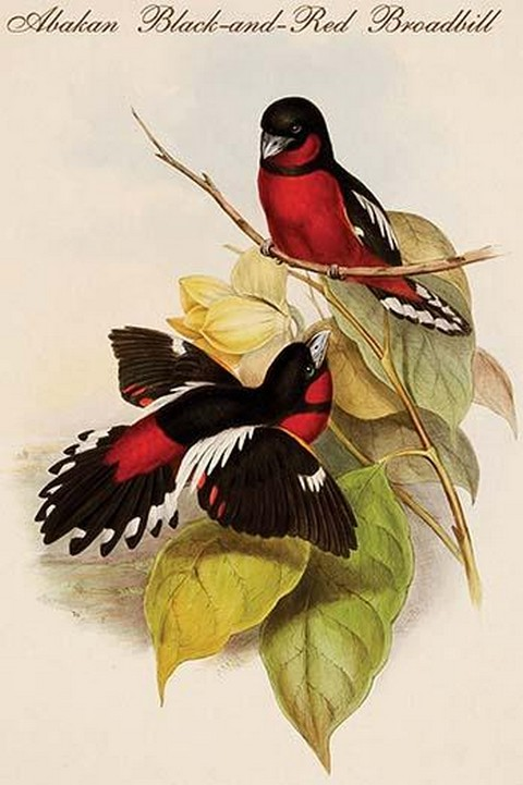 Abakan Black-and-Red Broadbill by John Gould - Art Print