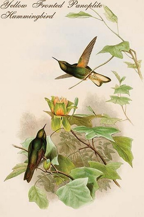 Yellow Fronted Panoplite Hummingbird by John Gould - Art Print