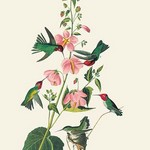 Anna's Hummingbird by John James Audubon - Art Print