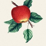 Baldwin Apple - Art Print