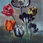 A Group of Tulips - Art Print