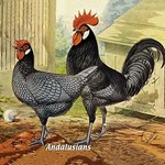 Andalusians (Chickens) - Art Print