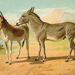 Abyssinian Male and Indian Onager Female by Samuel Sidney - Art Print
