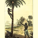 A Man Ascending a Palm Tree for Its Wine - Art Print