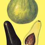 Alligator Pears - Art Print