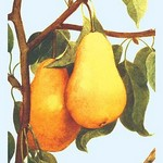 Bartlett Pears - Art Print