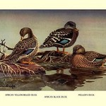 African and Meller's Ducks by Allan Brooks - Art Print