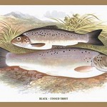 Black-Finned Trout by A.F. Lydon - Art Print