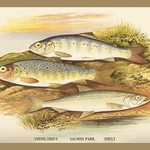 Young Trout, Salmon Parr. and Smelt by A.F. Lydon - Art Print