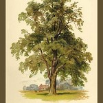 Ash Tree by W.H.J. Boot - Art Print