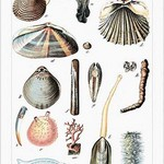Worms and Bivalves by Heinrich V. Schubert - Art Print