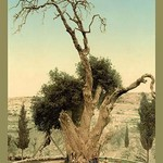 Abraham's Tree Mamreh on the West Bank by Detroit Photographic Company - Art Print