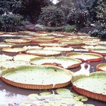 5 Foot Lily Pads by Cmdr. John Bortniak - Art Print