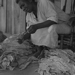 Black Sharecropper sorts tobacco leaves by Dorothea Lange - Art Print