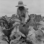 Worming Tobacco by Dorothea Lange - Art Print