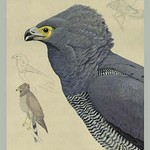 African Harrier Hawk by Louis Agassiz Fuertes - Art Print
