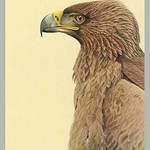 African Tawny Eagle by Louis Agassiz Fuertes - Art Print
