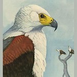 African Sea Eagle by Louis Agassiz Fuertes #2 - Art Print