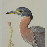 African Night Heron by Louis Agassiz Fuertes - Art Print