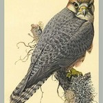 Abyssinian Lanner by Louis Agassiz Fuertes - Art Print