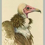 White Necked Vulture by Louis Agassiz Fuertes - Art Print