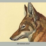 Abyssinian Wolf by Louis Agassiz Fuertes - Art Print