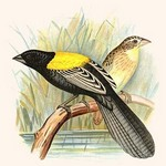 Yellow Backed Whydah by Frederick William Frohawk - Art Print