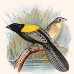 Yellow Backed Whydah by Frederick William Frohawk #2 - Art Print
