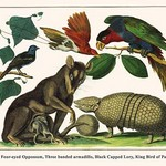 Brown Four-Eyed Oppossum, Three Banded Armadillo, Black Capped Lory, King Bird of Paradise by Albertus Seba - Art Print