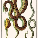Anaconda, Mouse, rat snake by Albertus Seba - Art Print