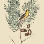 American Goldfinch by Mark Catesby - Art Print